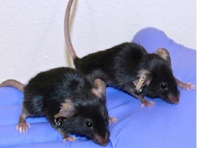 Topo vecchio confrontato con topo ringiovanito